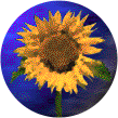 Sunflowers-crop.png